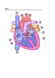 Hjerte og kredsløb | Arbejdsspørgsmål | 10 i karakter